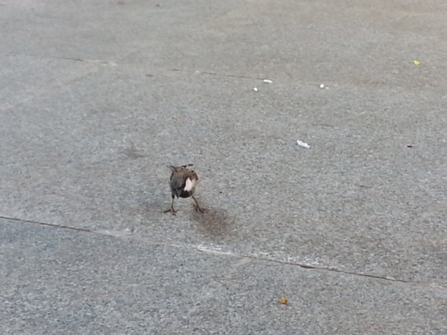 The Sparrow. Rare sight in Bengaluru City these days