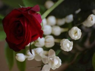 Day 10 Rose & Jasmine