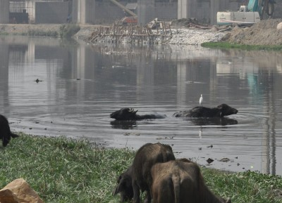 Buffaloes hitherto avoiding Enjoy Yamuna